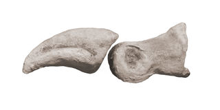 Fossil toe bones of a dinosaur isolated. Stock Photos