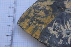 Fossil tree fern imprint Stock Image