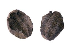 Fossil trilobite Stock Photography