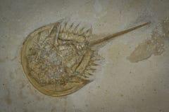 fossil- trilobite Arkivfoton