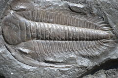 Fossil trilobite royalty free stock photo