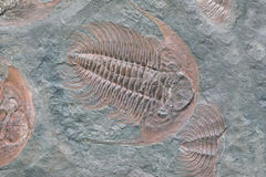 Fossil of trilobite - detail view Royalty Free Stock Photos