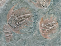 Fossil of trilobite - detail view Stock Images