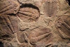 Fossil trilobite imprint in the sediment Stock Photo