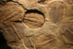Fossil trilobite imprinted in the sediment. Royalty Free Stock Images