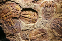 Fossil trilobite imprinted in the sediment. 4 Billion Year old Trilobite Royalty Free Stock Photography