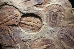 Fossil trilobite imprinted in the sediment. Royalty Free Stock Photography