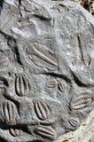 Fossil trilobites royalty free stock photos