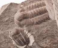 Trilobite fossil from the early Cammbrian peroid Royalty Free Stock Photo