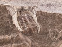 Trilobite fossil from the early Cammbrian peroid Stock Photo
