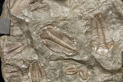 Fossil trilobites Stock Image