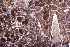 Fossil turritella agate slab Royalty Free Stock Photography