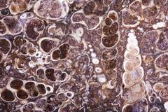 Fossil turritella agate slab Royalty Free Stock Photography