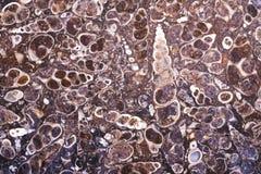 Fossil turritella agate slab Stock Images
