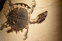 Fossil turtle from prehistoric seas. Ancient petrified turtle swimming  through ancient seas Stock Photography