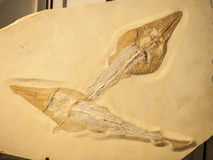 Fossil of two Rhynobatos fishes Royalty Free Stock Images