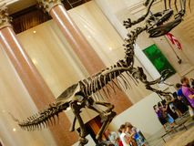 Fossil of Tyrannosaurus rex at the American Museum of Natural History in New York, USA. Tyrannosaurus rex: Composed almost entirely of real fossil bones, it is royalty free stock photos