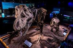 Fossil- utställning i det kungliga Tyrrell museet royaltyfria foton