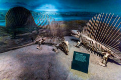 Fossil- utställning i det kungliga Tyrrell museet royaltyfri fotografi
