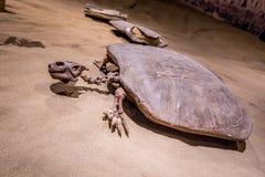 Fossil- utställning i det kungliga Tyrrell museet royaltyfri bild