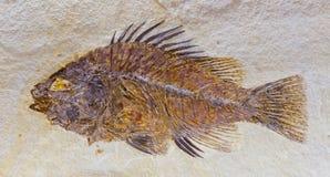 Fossil von Fischen stockbild