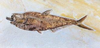 Fossil von Fischen lizenzfreie stockbilder