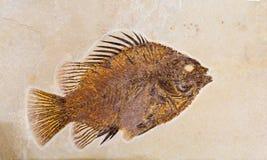 Fossil von Fischen lizenzfreies stockfoto