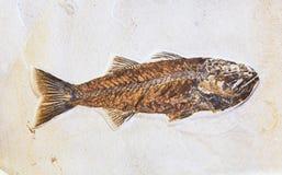 Fossil von Fischen stockfoto