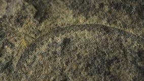 Fossil von Graptolite stock footage