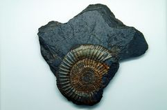 Fossil  on white background stock photography