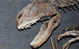 fossile的恐龙 库存图片