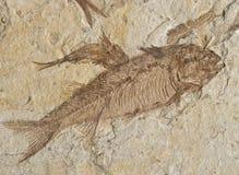 fossile 130million-year-old Fotografia Stock Libera da Diritti