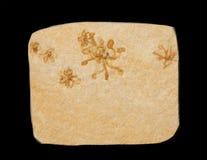 Fossile Images libres de droits