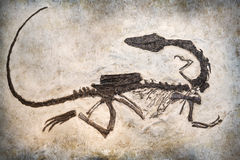 Fossile Immagini Stock Libere da Diritti