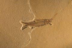 Fossile Immagini Stock