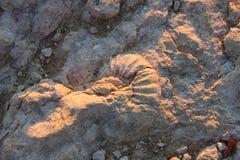 Fossile 8 Photographie stock libre de droits