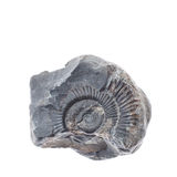 Fossile ammonite on white background. Ammonites are among the most common fossils to be found Stock Image