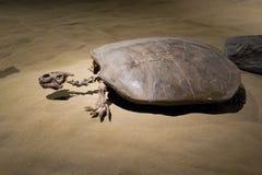Fossile antique de tortue de mer Photos libres de droits