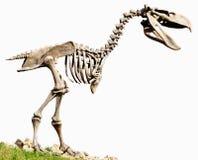 Fossile carnivore de reproduction d'oiseaux incapables de voler de Phorusrhacidae photographie stock libre de droits