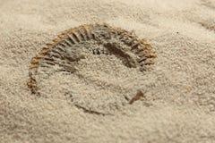 Fossile d'ammonite étant indiqué en sable Photo stock