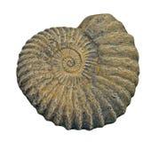 Fossile d'ammonite Photos libres de droits