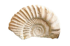 Fossile d'ammonite Photographie stock libre de droits