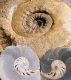 FOSSILE D'AMMONITE Images stock