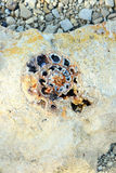Fossile d'ammonite Image stock
