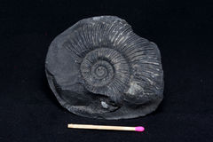 Fossile d'ammonite Photographie stock