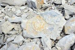 Fossile d'ammonite dans la roche de chaux Images stock