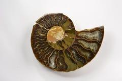 Fossile d'ammonite de Keratitis d'ammonite sur le fond de whie Image stock