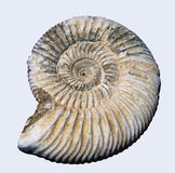 Fossile d'ammonite de Pyretised Photographie stock libre de droits