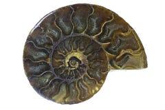 Fossile d'ammonite du Madagascar Image libre de droits