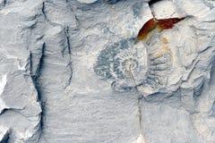 Fossile d'Amonite en chaux Image libre de droits